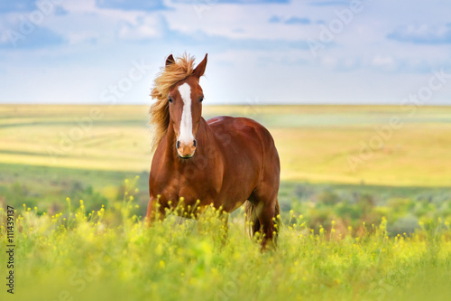 Foto op Canvas Paarden Red horse with long mane in flower field against sky