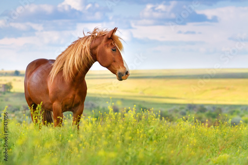 Poster Meadow Red horse with long mane in flower field against sky