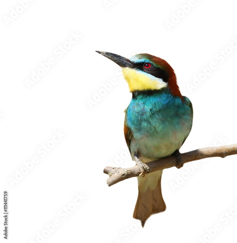 Leinwand Poster European bee-eater isolated on white background, Merops apiaster