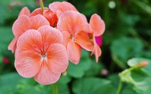 Pink Geranium (pelargonium) Flowers In Bloom