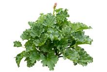Rhubarb (Rheum Rhabarbarum L.)...