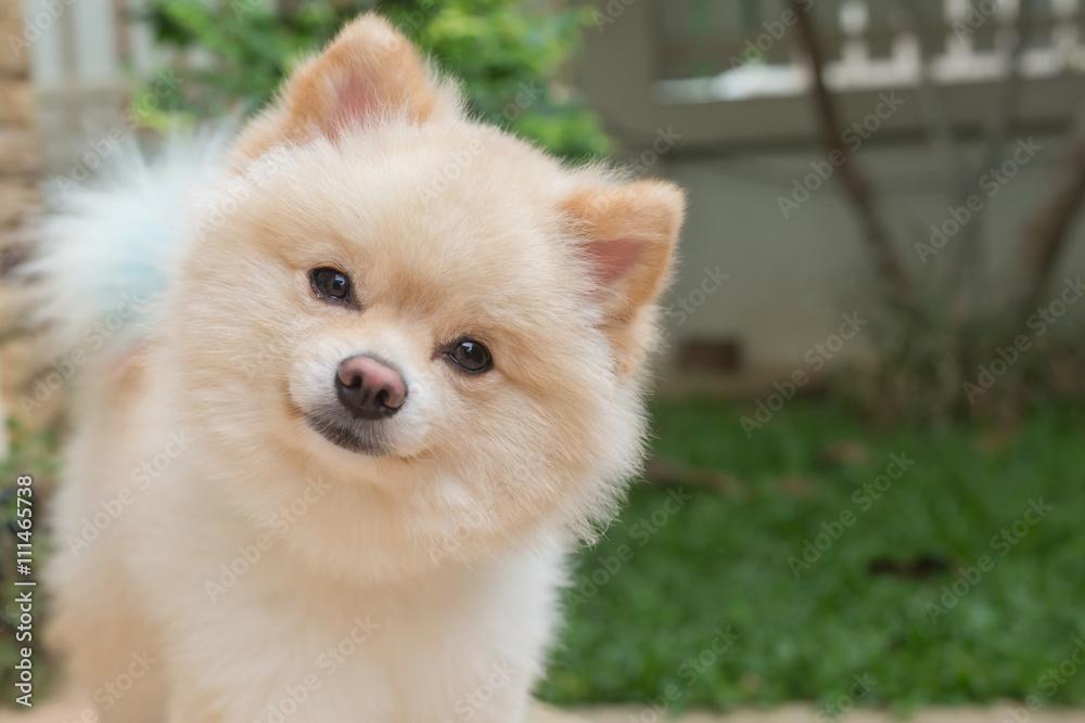 Fotografía Tiernas mascotas pequeño perro pomeranian amistosos en ...