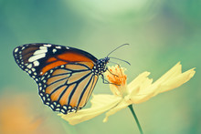 Vintage Of Monarch Butterfly On Cosmos Flower