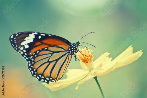 Photo  Vintage of monarch butterfly on cosmos flower