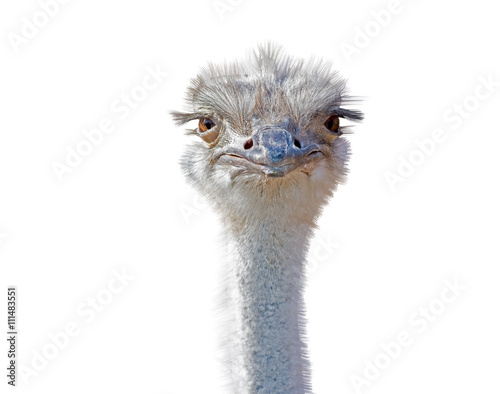 La pose en embrasure Autruche ostrich female head isolated