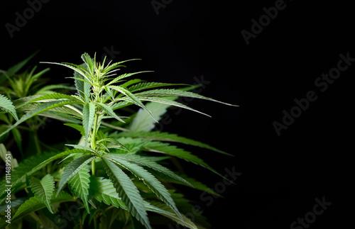 Photo  Hemp plant isolated