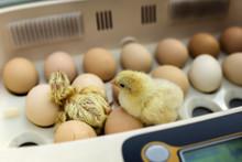 Newborn Little Yellow Chicken In The Incubator