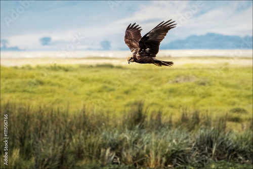 African Eagle hunting
