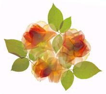 Translucent Flat Lay Rose Arrangement, Isolated On White Background