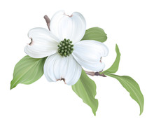 White Dogwood (Cornus Florida)...