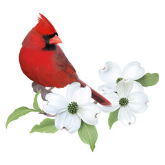 NaklejkaNorthern Cardinal perched on a blooming White Dogwood.Hand drawn vector illustration on transparent background, realistic representation.