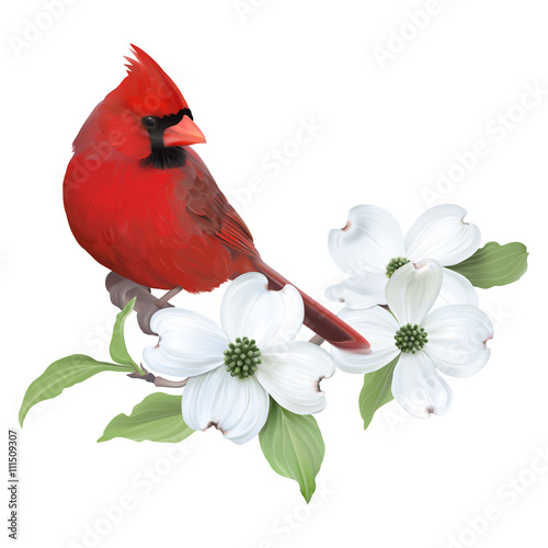Photo Northern Cardinal perched on a blooming White Dogwood