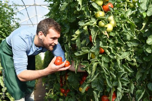 Foto  Ernte von Tomaten im Gewächshaus eines Bauernhofes - regionale Gemüseproduktion