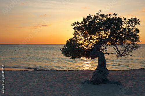Photo  Divi divi tree on Aruba island in the Caribbean Sea at sunset