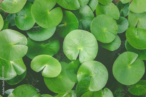 Poster de jardin Nénuphars Green lotus leaves, water lily leaves, Dark Green leaves texture