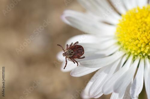 Tick (lat. Acarina) on a flower Canvas Print