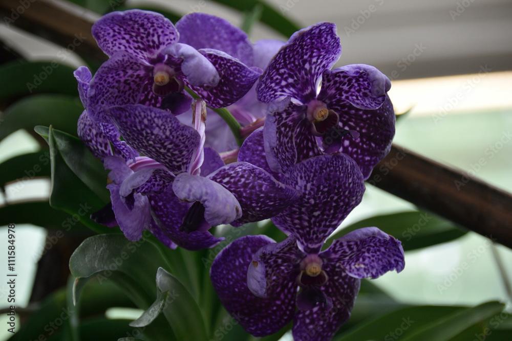 Obraz Orchid fototapeta, plakat