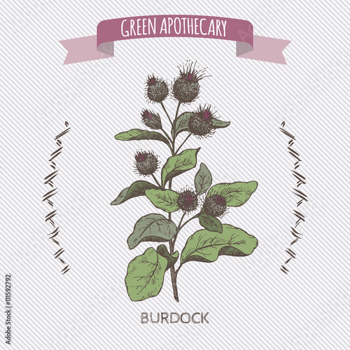 Fotografia Color Arctium lappa aka greater burdock sketch.