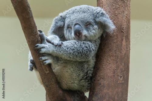 Spoed Fotobehang Koala koala resting and sleeping on his tree