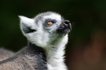 Ring Tailed Lemur Close Up Of ...