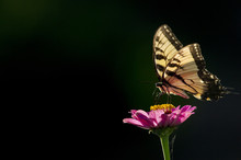 A Large Black And Yellow Butterfly Perched On A Bright Pink Flower With The Bright Sun Shinning On It Against A Black Background.