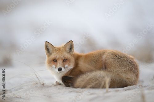 Papel de parede  A Red Fox lays down on a sandy beach in the warm evening light.