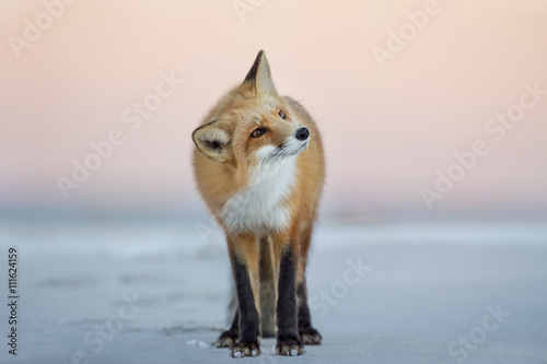 Fényképezés A Red Fox turns its head to the side as it stands on the beach in the soft dusk light with a pink sky background
