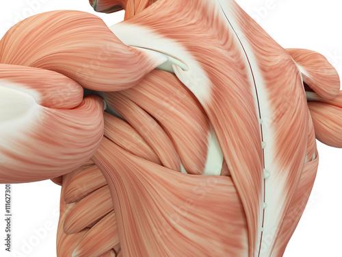 Fotografia Human anatomy shoulder and back. 3d illustration.