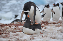 The Pairing Of Two Penguins On The Beach Of Antarctica