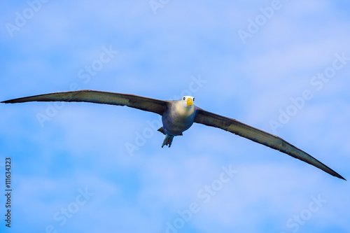 Valokuva  Waved albatross flying in Galapagos