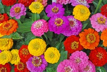 Flowers Zinnia, Flowers Backgr...