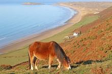 Wild Pony Above Rhossili Beach