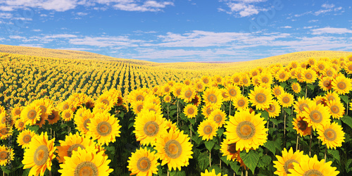 Poster de jardin Jaune Field of sunflowers under a cloudy sky.