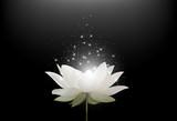 Fototapeta Kwiaty - Magic White Lotus flower on black background