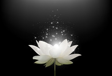 Magic White Lotus Flower On Bl...