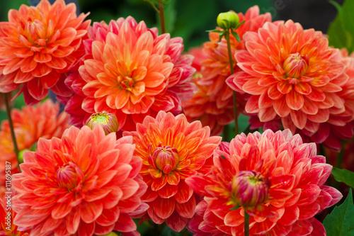 Dahlia Dahlia red or orange flowers in garden full bloom
