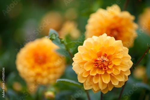 Poster Dahlia Dahlia yellow and orange flowers in garden