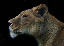 Lioness Isolated On Black Background