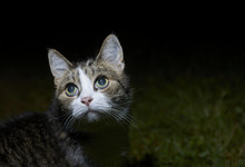 Cat Watching And Hunting By Night