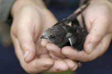 Close Up Of Woman's Hand Holding Common Swift