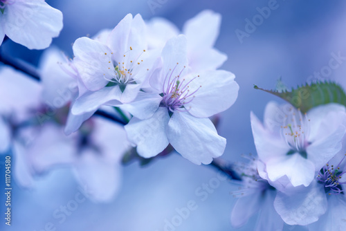 Sakura. Cherry Blossom in Springtime. Beautiful White Flowers
