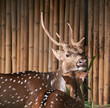 Spotted deer / Portrait of Chital, Spotted deer in farm.