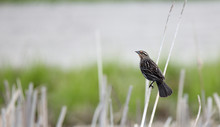 Female Red-winged Blackbird Perched On A Reed
