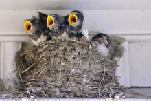 Barn Swallows, Sweden.