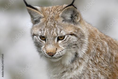 A lynx, Sweden.