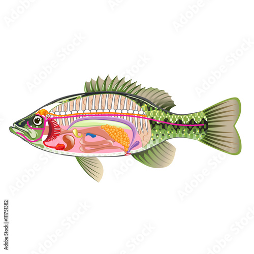 Fish Internal Organs Vector Art Diagram Anatomy Without Labels Buy