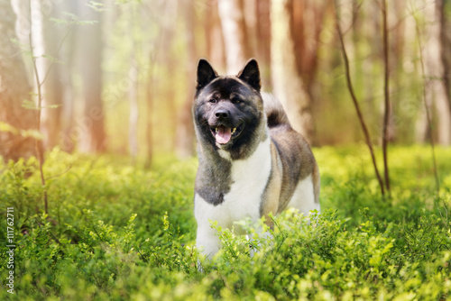 happy american akita dog in the forest Canvas Print
