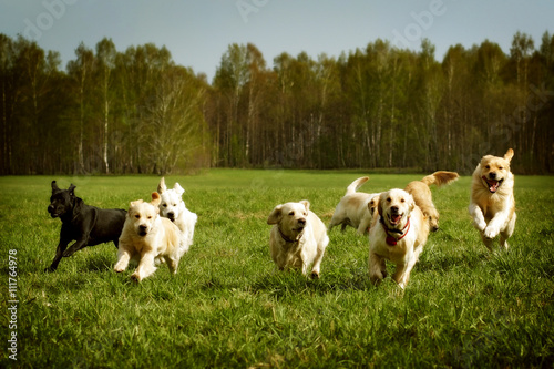 Poster Chien large group of dogs Golden retrievers running