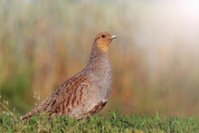 Grey Partridge In A Beautiful Sunlight With Sunny Hotspot