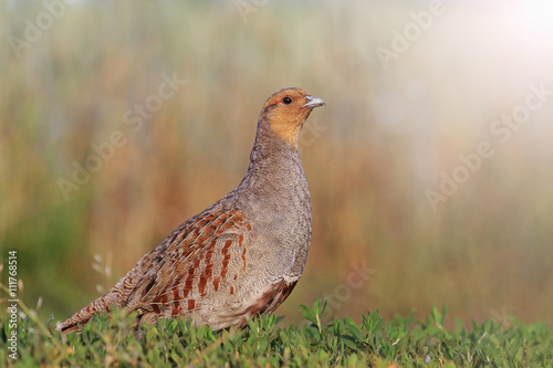Fotografie, Obraz Grey partridge in a beautiful sunlight with sunny hotspot